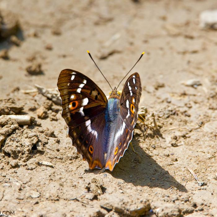 Lesser Purple Emperor In The Białowieża Forest