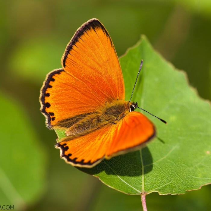 Scarce Copper In The Biebrza Marshes