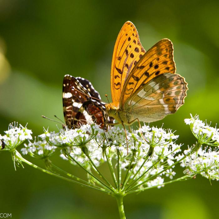 Silver-washed Fritillary And Map Butterflies In The Białowieża Forest
