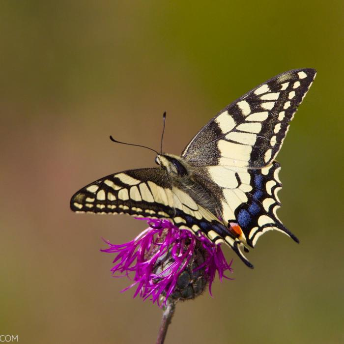 Swallowtail Butterfly In The Biebrza Marshes
