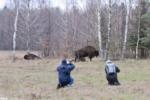 Bison Watching In The Białowieża Forest, Photo By Bartek Smyk