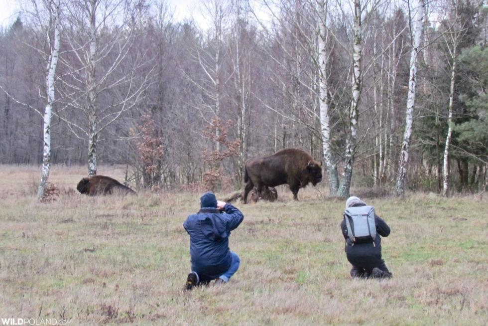 Bison Safari In The Białowieża Forest, Jan 2020