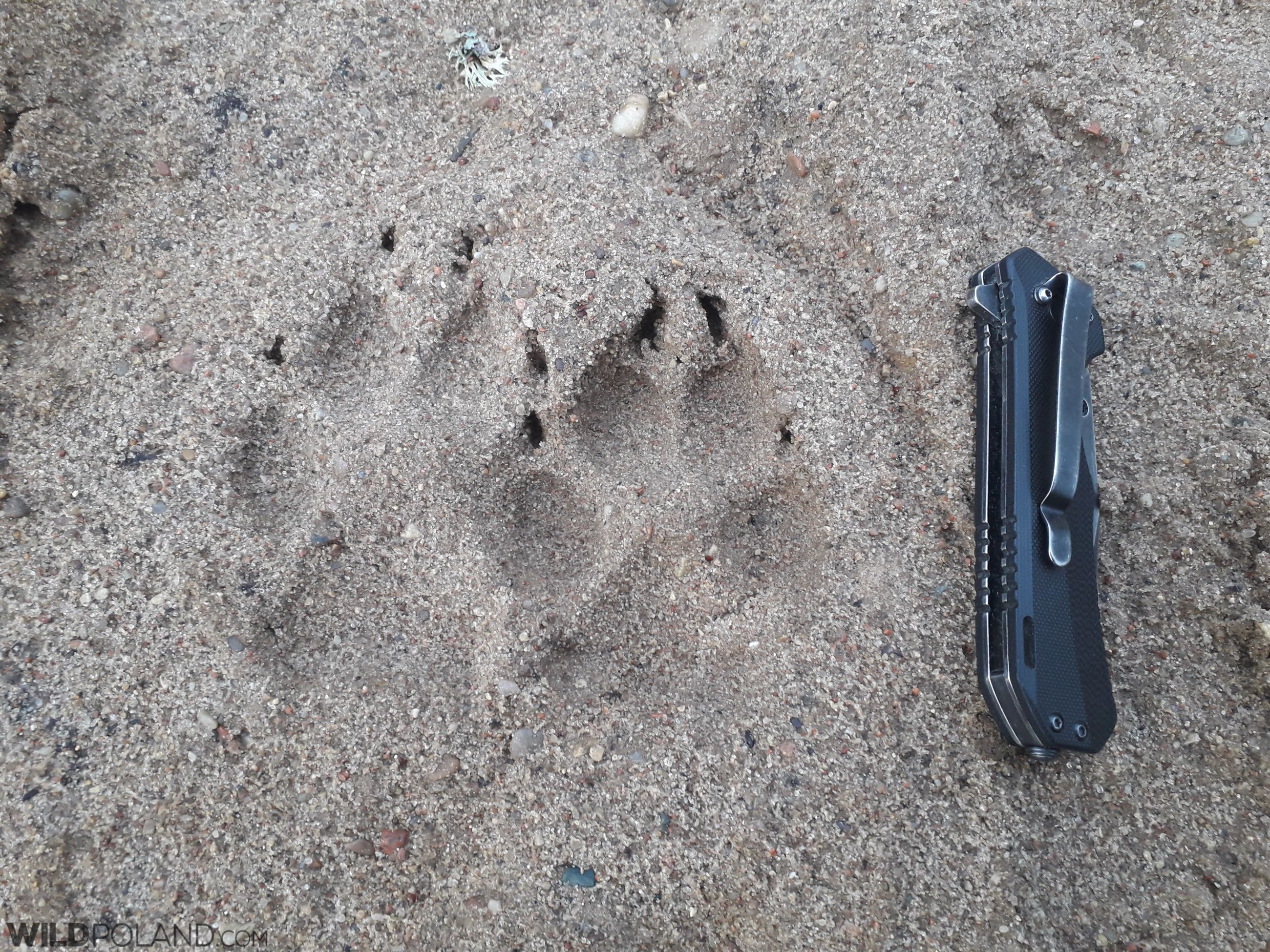 Wolf footprints in the Białowieża Forest
