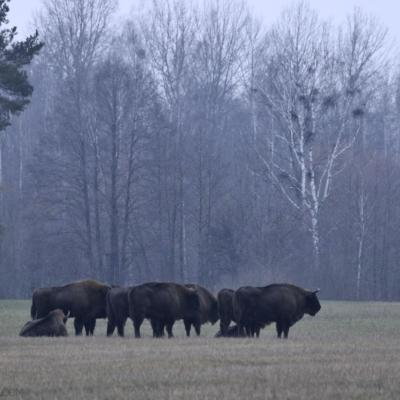 Wild Bison Herd In The Białowieża Forest