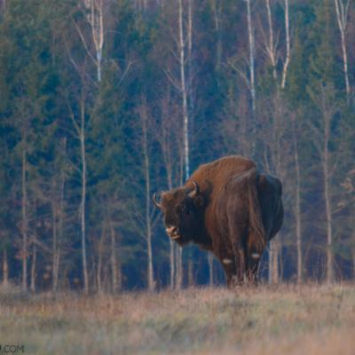 Wild Bison In The Białowieża Forest At Sunset.