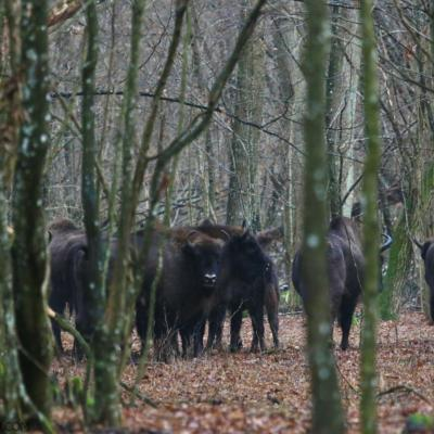 Herd Of Wild European Bison In The Białowieża Forest
