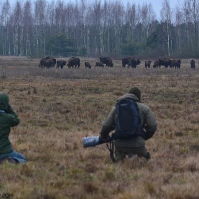 Watching A Herd Of Wild European Bison In The Białowieża Forest At Dawn