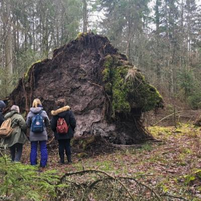 Watching Huge Trees Naturally Fallen Down In The Białowieża Forest