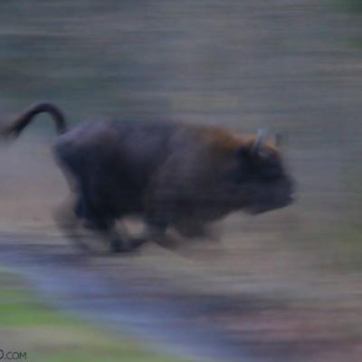 Wild Bison Running Across The Track In The Białowieża Forest.