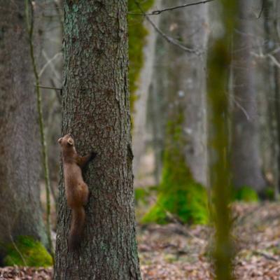 Pine Marten In The Białowieża Forest