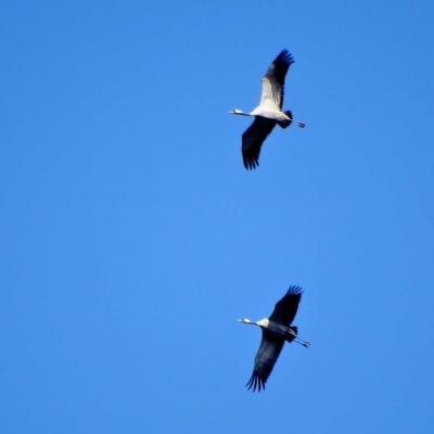 Cranes Flying Over The Biłowieża Forest, Photo By Peter Debowski