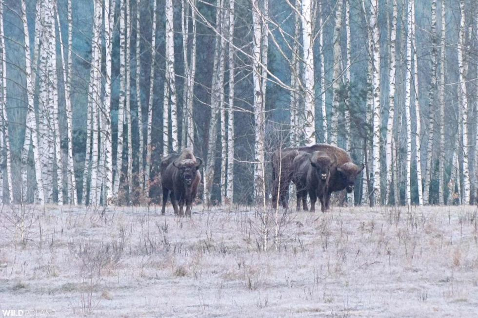 Bison Safari In The Białowieża Forest, Feb 2020