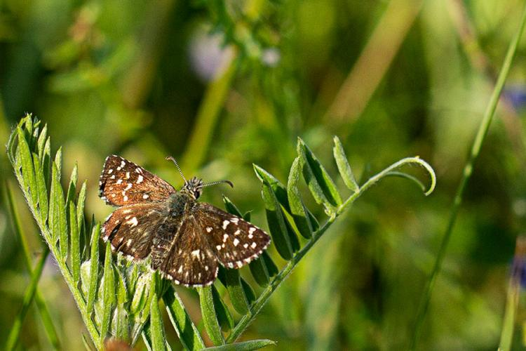 Grizzled Skipper By Alice Hunter
