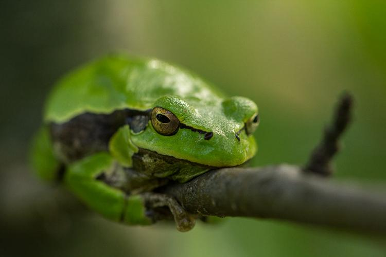 Tree Frog By Alice Hunter