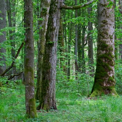 Białowieża Forest In May