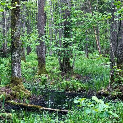 Bog Alder Carr In The Białowieża Primeval Forest