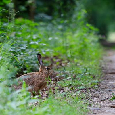 Brown Hare In The Białowieża Primeval Forest