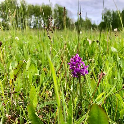 Early Marsh Orchid In The Białowieża Primeval Forest