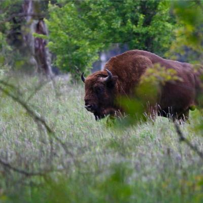 European Bison In The Białowieża Primeval Forest