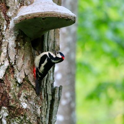 Great Spotted Woodpecker In The Białowieża Primeval Forest