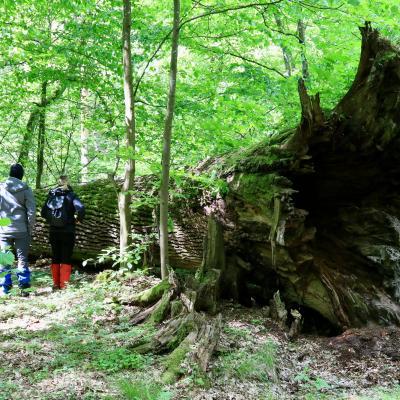 At A Huge Fallen Oak In The Białowieża Primeval Forest