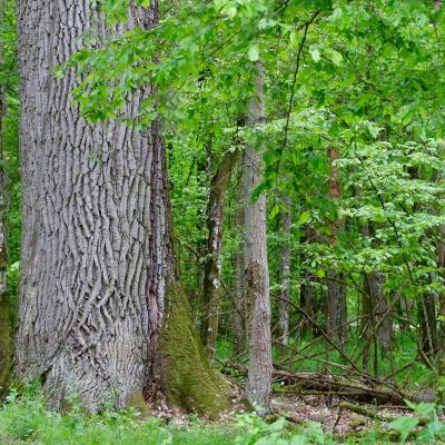 Oak In The Białowieża Primeval Forest