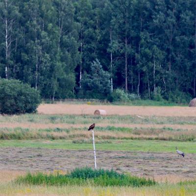 Lesser Spotted Eagle And Crane In The Białowieża Forest