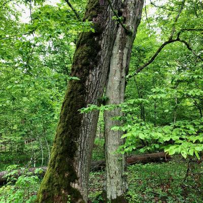 Hornbeam Hugging An Oak In The Primeval Białowieża Forest