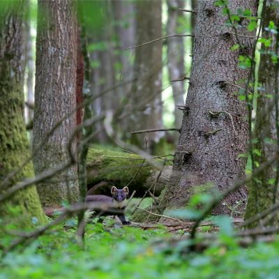 Pine Marten In The Primeval Białowieża Forest