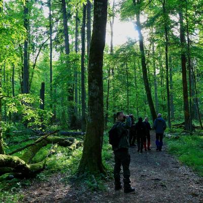 Walking In The UNESCO Site Of The Primeval Białowieża Forest