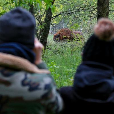 Watching Bison In The Primeval Białowieża Forest