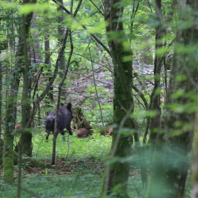 Wild Boar In The Primeval Białowieża Forest
