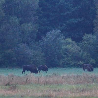 European Bison In The Białowieża Forest At Dawn