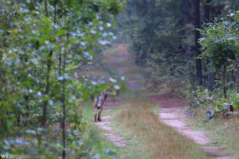Primeval Forest & Marshes, Sep 2020 (Wolf Seen!)