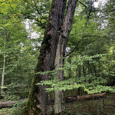 Hornbeam Hugging Oak In The Białowieża Forest