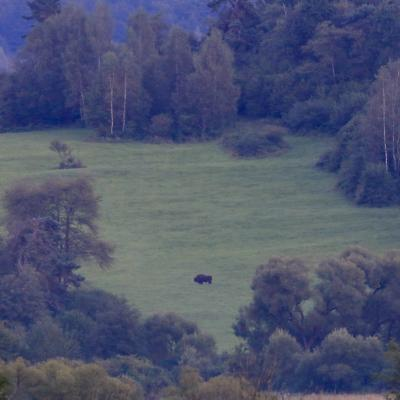 European Bison In The Bieszczady, Carpathian Mts.