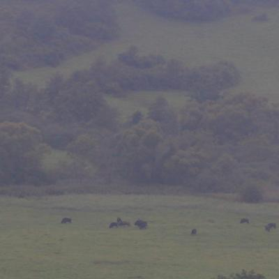 A Herd Of European Bison At Dawn, Bieszczady Mts.