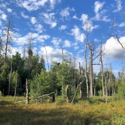 Bog Alder Forest Regenerating