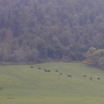 Bison Herd In The Bieszczady, Carpathian Mts.