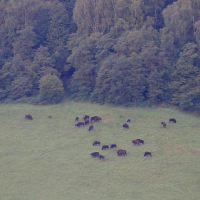 Large Herd Of European Bison With Calves In The Bieszczady, Carpathian Mts.