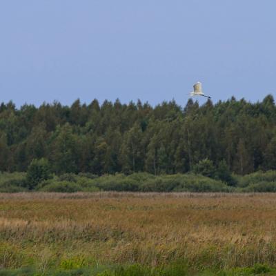 Great White Egret In The Siemianówka Reservoir