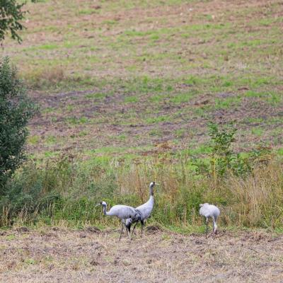 Cranes In The Biebrza Marshes