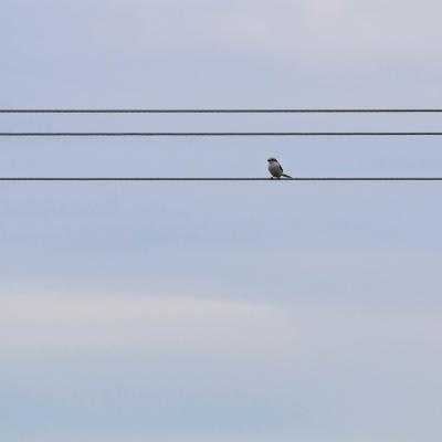 Great Grey Shrike In The Białowieża Forest