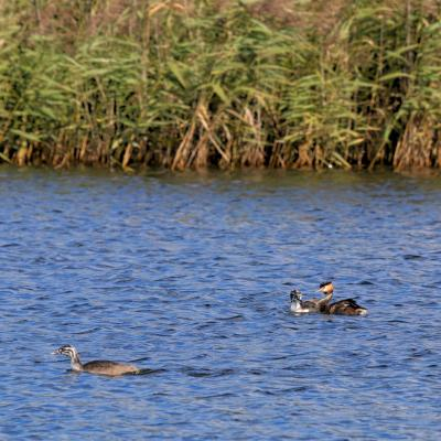 Great Crested Grebes In The Dojlidy Fishponds