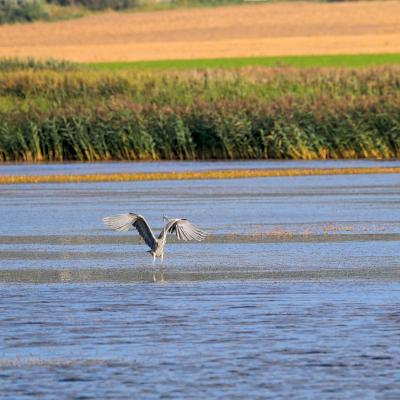 Grey Heron In The Biebrza Marshes