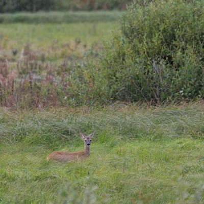 Roe Deer In The Biebrza Marshes