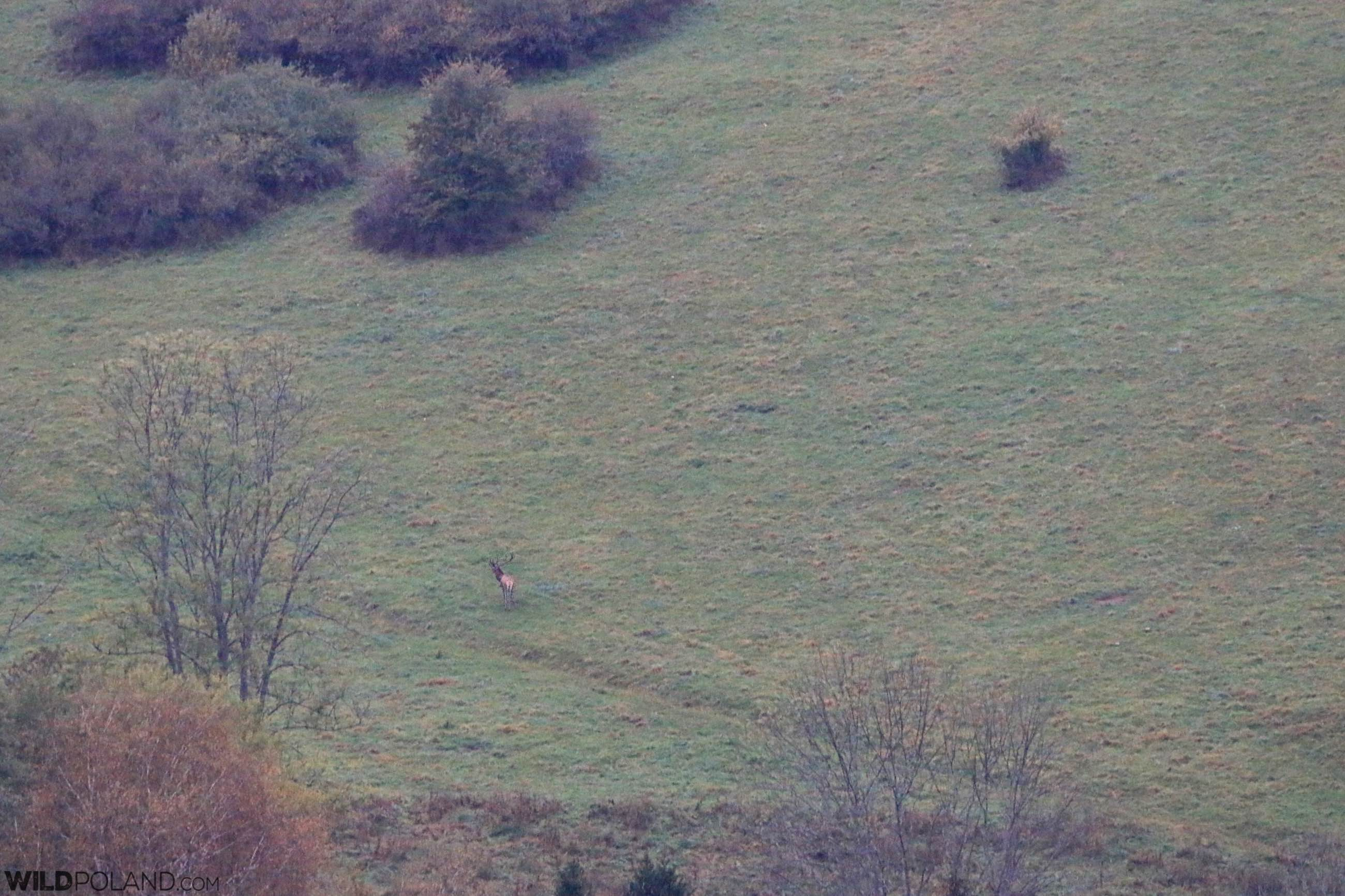 Red Deer stag in the Eastern Carpathians, Bieszczady Mts
